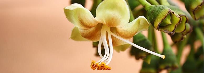 Blüte des Kapokbaums (Ceiba Pentandra)