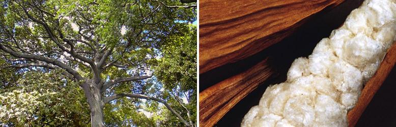 Info-Bilder: Kapokbaum und Kapokschote